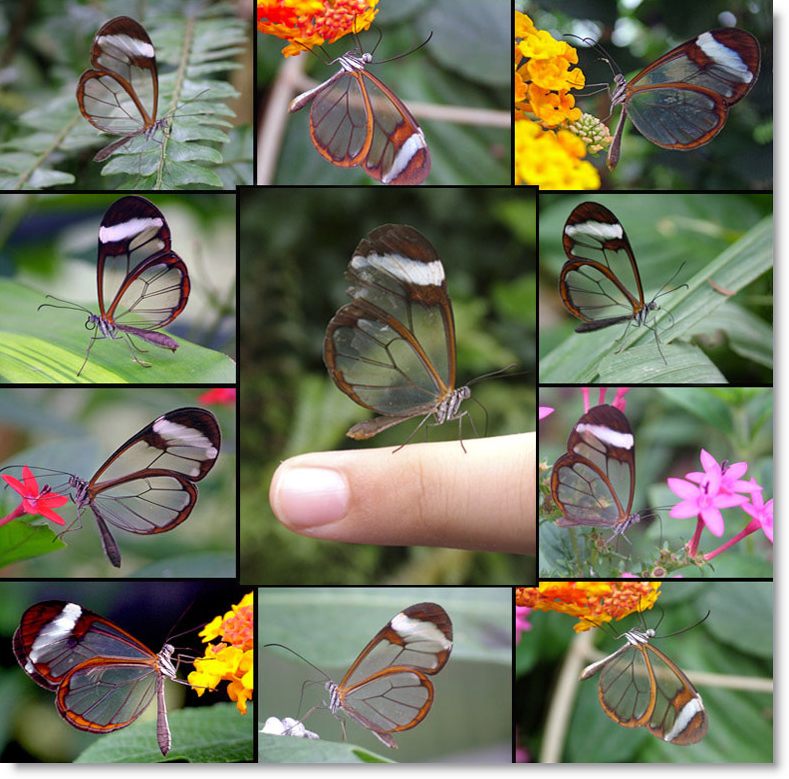 mariposa-alas-de-cristal