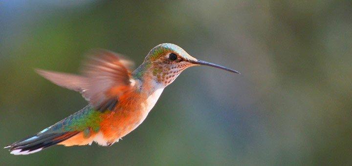 curiosidades-colibri