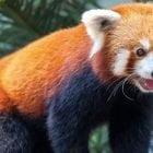 il maistro firefox es panda